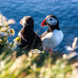 Ijsland - Puffin vogel - Latrabjarg