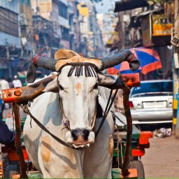 India-Rajasthan-koe