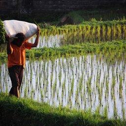 Indonesië-Bali-man werkt in rijstvelden