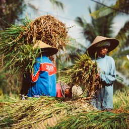 Indonesië-Bali-rijstwerkers