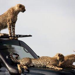 Kenia-algemeen-cheetas op wagen
