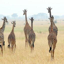 Kenia-algemeen-giraf (2)
