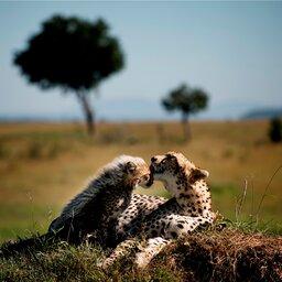 Kenia-algemeen-jachtluipaard (3)