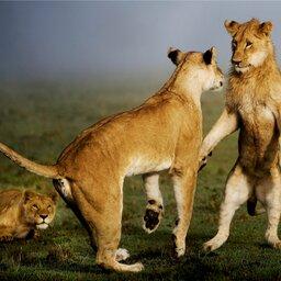 Kenia-algemeen-leeuw (1)
