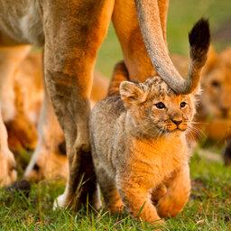 Kenia-algemeen-leeuw (3)
