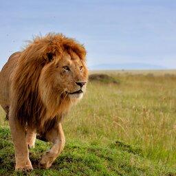 Kenia-algemeen-leeuw 4