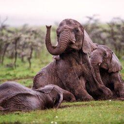 Kenia-algemeen-olifant (1)
