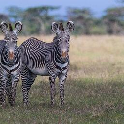 Kenia-algemeen-zebras