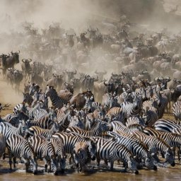Kenia-Great Migration-kuddes zebras
