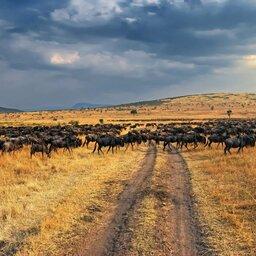 Kenia-Great Migration-kuddu
