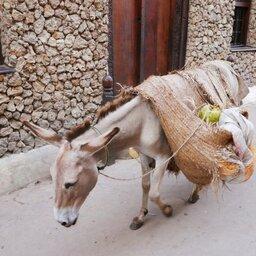 Kenia-Lamu-ezel als transportmiddel