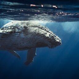 La Reunion-algemeen-walvis
