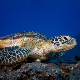 La-Reunion-westkust-zeeschildpad-CREDIT-IRT-gabriel-barathieu