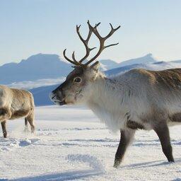 Lapland - Husky - Safari - Sneeuw (3)