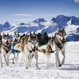 Lapland - husky slee (3)