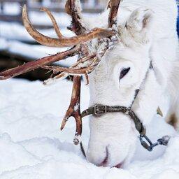 Lapland - Rendier - slee - sneeuw  (10)