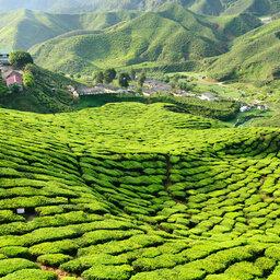 Maleisie-Cameron Highlands-hoogtepunt-groene vlakte2