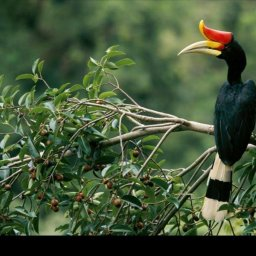 Maleisië-Royal-Belum-State-Park-neushoornvogel
