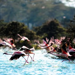 mini_Kenia-Lake Naivasha-flamingos