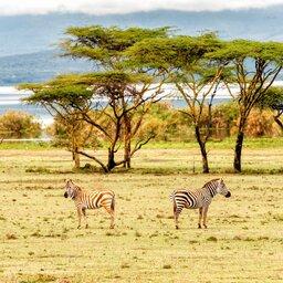 mini_Kenia-Lake Naivasha-zebras