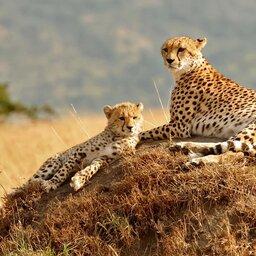 mini_Kenia-Masai Mara-cheeta koppel