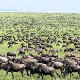 mini_Kenia-Masai Mara-great migration