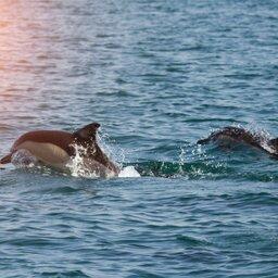 Mozambique-algemeen-dolfijnen