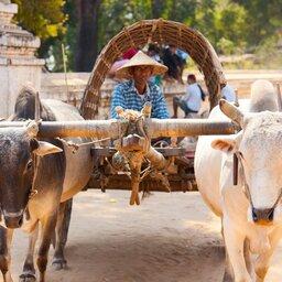 Myanmar-Mingun-hoogtepunt-ossenkar (2)