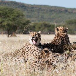 Namibië-algemeen-cheeta's