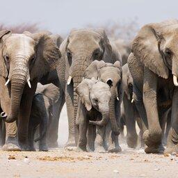 Namibië-algemeen-groep olifanten