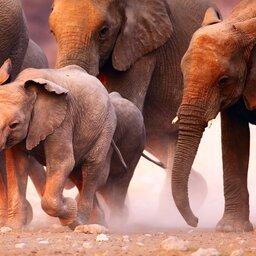 Namibië-algemeen-kudde olifanten