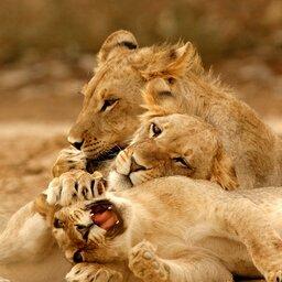 Namibië-algemeen-leeuwen