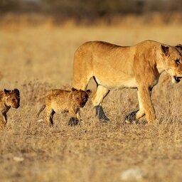Namibië-algemeen-mama leeuw met welpjes