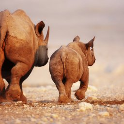 Namibië-algemeen-neushoorns