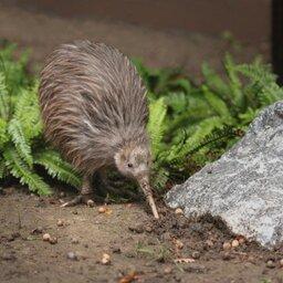 Nieuw-Zeeland - Kiwi (1)
