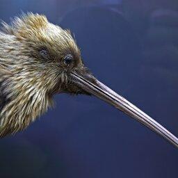 Nieuw-Zeeland - Kiwi (2)