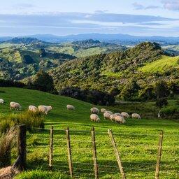 Nieuw-Zeeland -Sheep