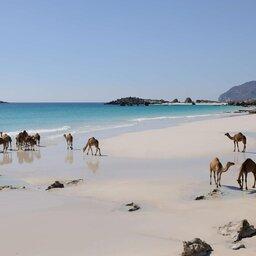 Oman-Dhofar Salalah-Alila Hinu Bay-kamelen op strand