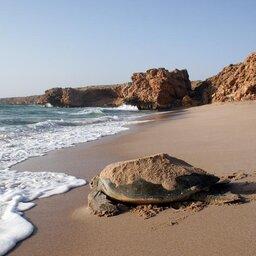 Oman-Kust rond Sur-Ras Al Jinz Turtle Reserve Hotel-schildpad