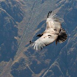 Peru-Condor