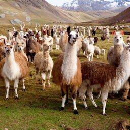 Peru - Lamas en Alpacas