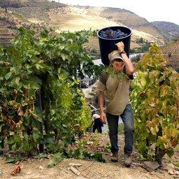 Portugal - Wijn - druiven - Mateus rosé (5)