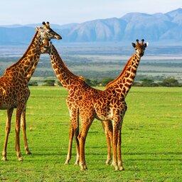 rsz_tanzania-ngorongoro-krater-giraffen (1)