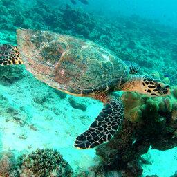Seychellen-Praslin-algemeen-schildpad