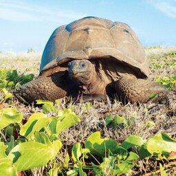 Seychellen-Private-Eilanden-Astove-Coral-House-schildpad