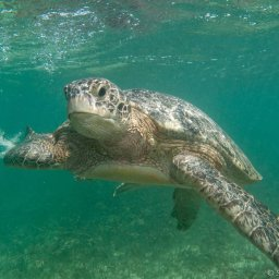 Seychellen-Private-eilanden-BlueSafari-Cosmo-Eco-Camp-onderwater-schildpad