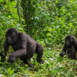 Oeganda-Bwindi Impenetrable Forest