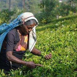 Sri-Lanka-Hooglanden-Excursie-Tea-Picking-Tea-Factory-visit-and-Tea-Tasting-1