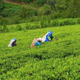 Sri Lanka-Nuwara Eliya-hoogtepunt-theeplukkers