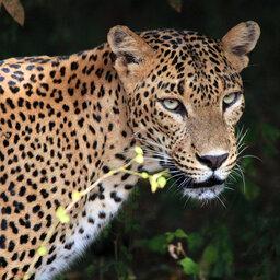 Sri-Lanka-Yala-National-Park-Luipaard-2
